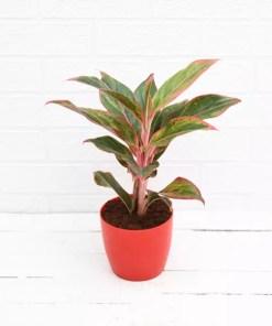 Buy aglaonema siam aurora aglaonema lipstick chinese evergreen red plant online in pakistan