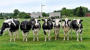 des-vaches-bretilliennes-bientot-dans-le-desert