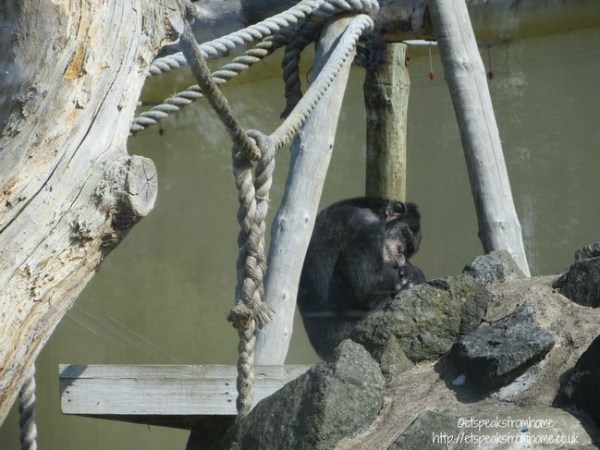 drayton manor theme park zoo orangutan
