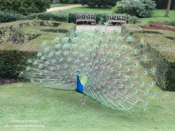 warwick castle 950 anniversary 2018 peacock