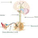 Représentation schématique des voies de la douleur