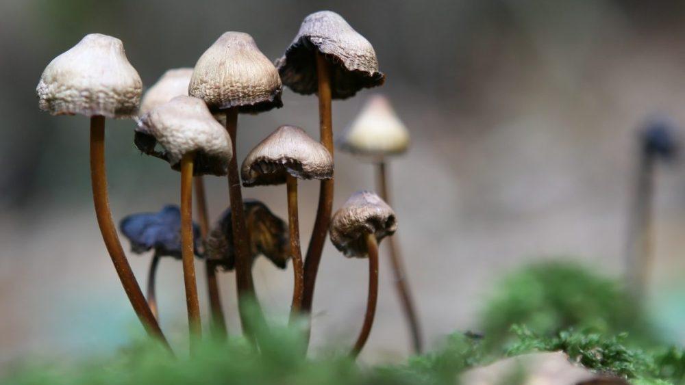 Hallucinogenic psilocybin mushrooms