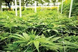 Indoor marijuana plantation