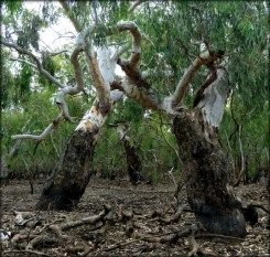 River Red Gum (Eucalyptus camaldulensis). From 'Wetlands quiz: answers revealed'
