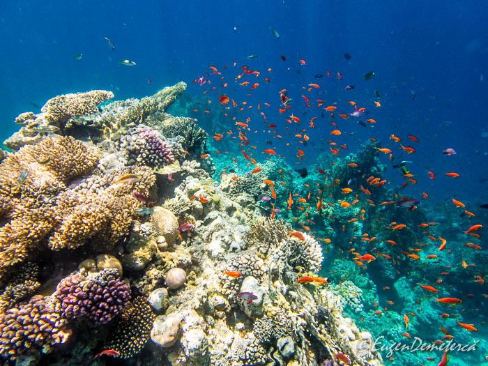 Corali si pesti rosii la Ras Muhammad, Marea Rosie