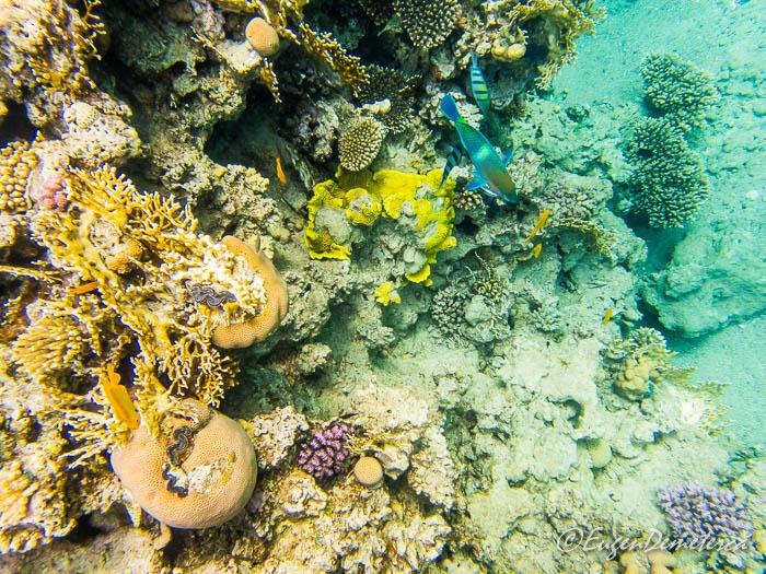Corali cu peste curcubeu