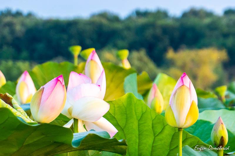 1034857 - Desfătare cu apus și lotuși pe Snagov