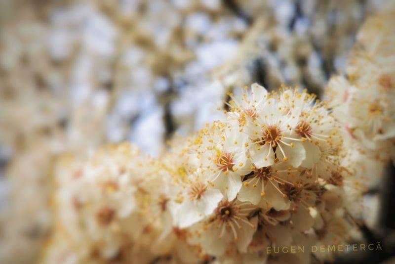 copac inflorit - Caiaceală de primăvară în Delta Neajlovului