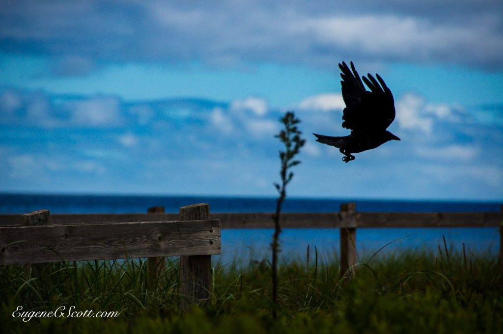 A crow in flight