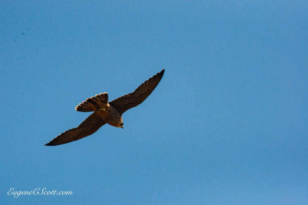 Hawk in flight is like a prayer