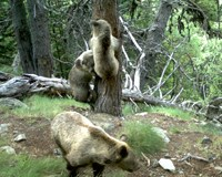 New life for the bears of the Pyrenees