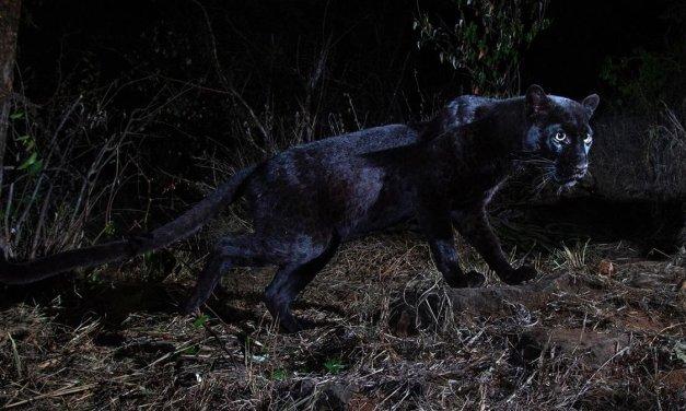 """Desmontando la """"primera"""" fotografía del leopardo negro"""