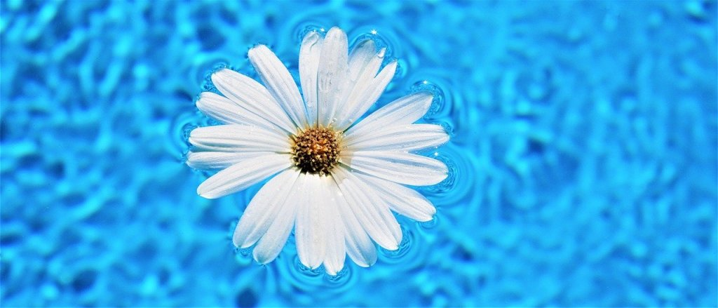 daisy flower, pool water surface, flower