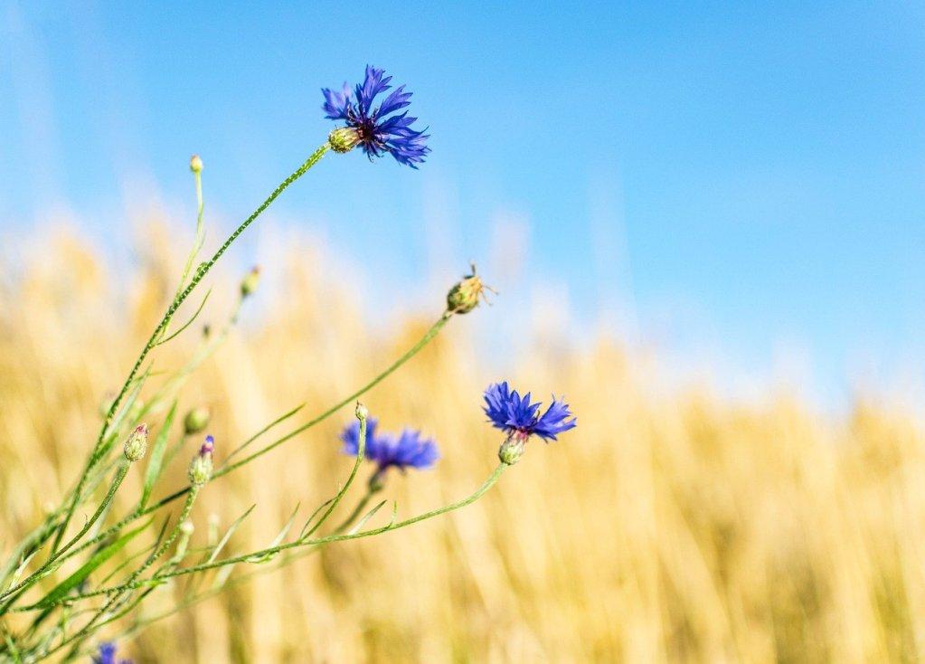 cornflower, wild flower, flower meadow