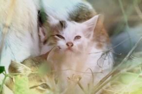 Kätzchen. Verschnupft an die Katzenmutter gekuschelt. Äthiopien.