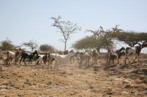 Äthiopien, Ziegen.