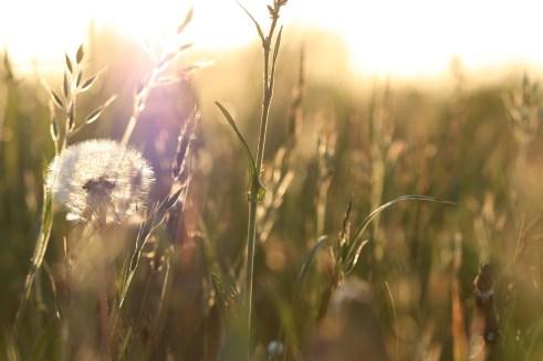 Löwenzahn. Gegenlicht, Sommer, Sonne...