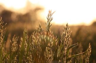 Gras, Gegenlicht. Gegenlicht ist immer ein gutes Zeichen für Sommer und Sonne.