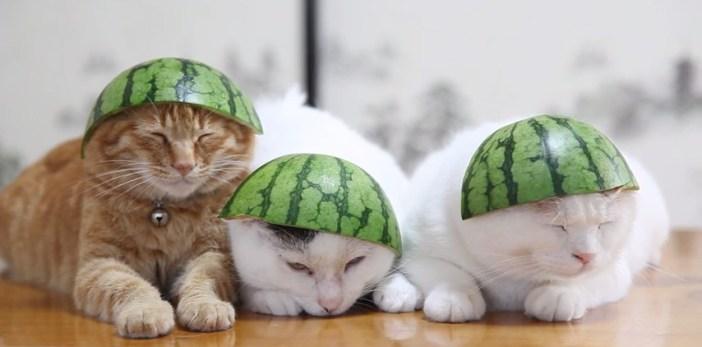 スイカ帽子の猫