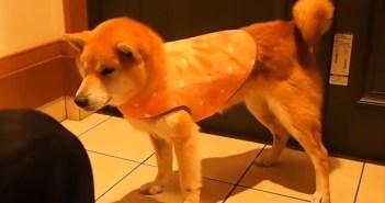 服を着る柴犬