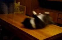 テーブル滑りが好きな猫