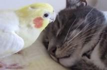 猫のヒゲに興味津々のインコ