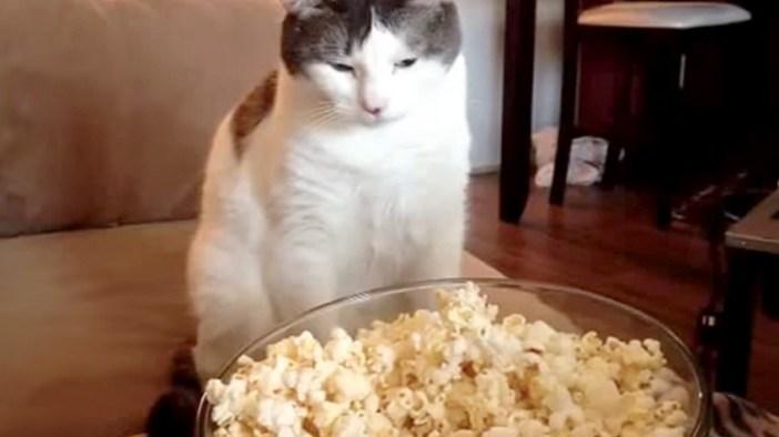 ポップコーンを見つめる猫