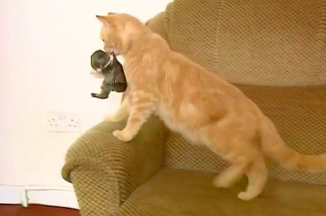 赤ちゃんウサギを運ぶ母猫