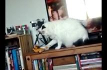 落ちそうなオモチャを元に戻す猫