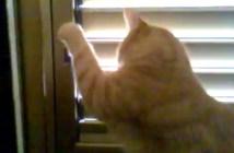 ブラインドを開ける猫