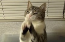 必死におねだりする猫