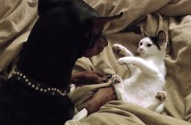 ドーベルマンと遊ぶ猫