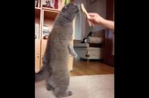 ブラッシングが気持ち良くて立ち上げる猫