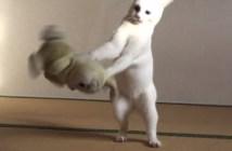 柔道の特訓をする猫