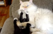 取り押さえられる子猫