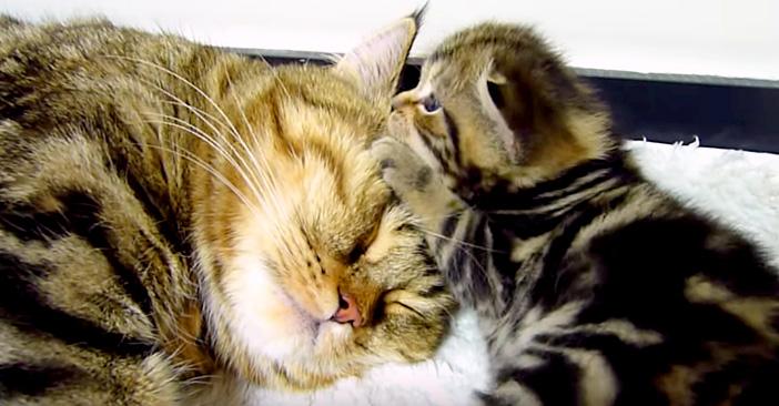 母親の顔をもみくちゃにする子猫