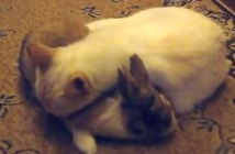うさぎ枕で寝る猫