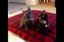 首振りダンスを踊る子猫