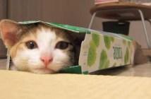 ティッシュボックスが好きな子猫