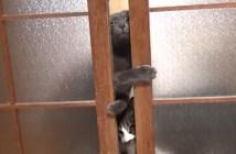 必死に引き戸を開けようとする猫
