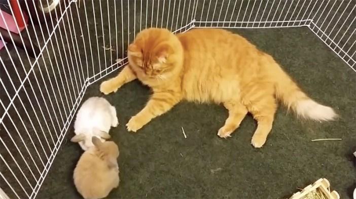 うさぎの様子を見る猫