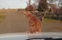 車のボンネットで風景を楽しむ猫