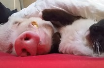 ブタを寝かしつける猫