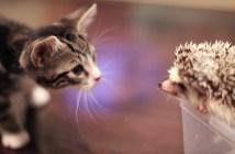 ハリネズミにドキドキする子猫
