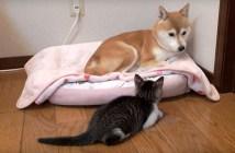 子猫に見つめられて戸惑う柴犬