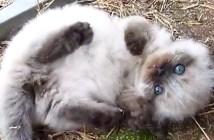 おなかいっぱいで起き上がれない子猫