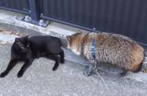 散歩したいタヌキと譲らない猫