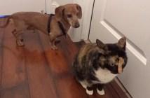 猫と友達になりたいダックスフント