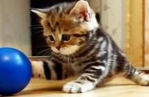 ボールと遊ぶ子猫