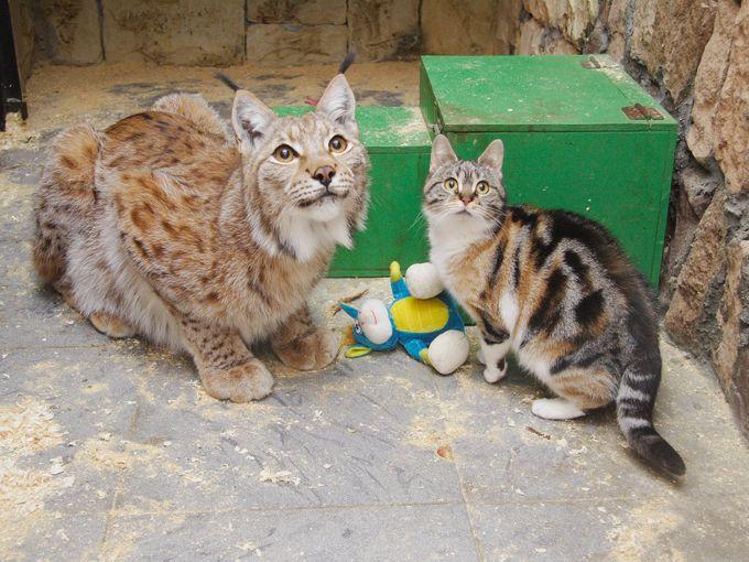 いっしょに見上げるオオヤマネコの猫